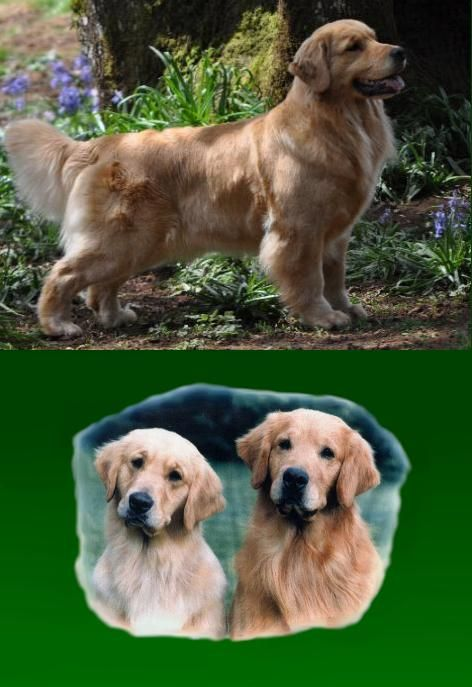 Shyan Goldens Golden Retriever Breeder Oregon Golden Retriever
