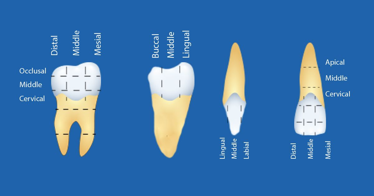 Learn The Topography Of Your Teeth Tooth Dentistry Dentist