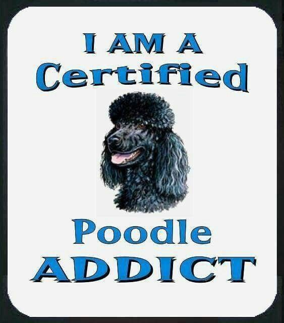 Pin By Nancy Hyland On Poodles Pinterest Poodle And Animal - Dog obsessed with stuffed santa toy gets to meet her idol in real life