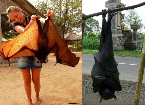 Harmless to humans, these Bats only eat Fruit. They are ...
