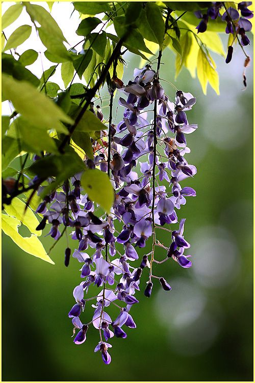 "fotofreddy: "" Own picture: A last Wisteria in back-light """