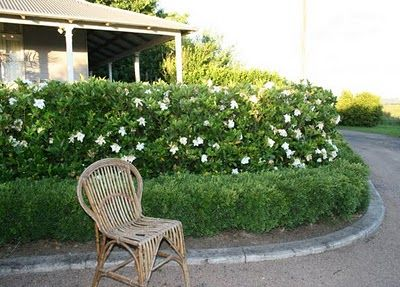 The Gardenia Hedge August Beauty Gardenia Hedges Garden Shrubs