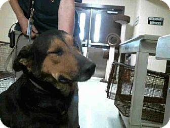 Tampa Fl Rottweiler German Shepherd Dog Mix Meet Blackberry A