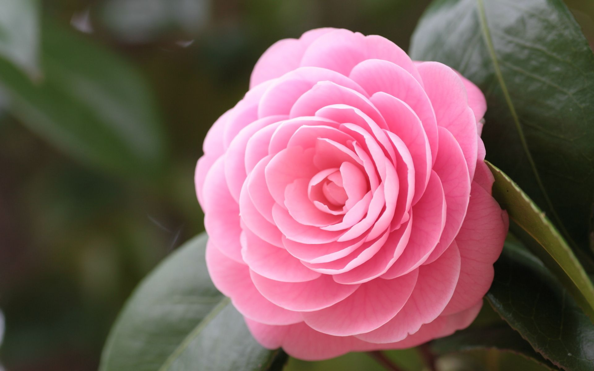 A Camelia Flower Exhibition Featuring 110 Species Of Flowers Will Start On January 28 At The Shanghai Botanic Garden De In 2020 Camellia Plant Flowers Blooming Rose