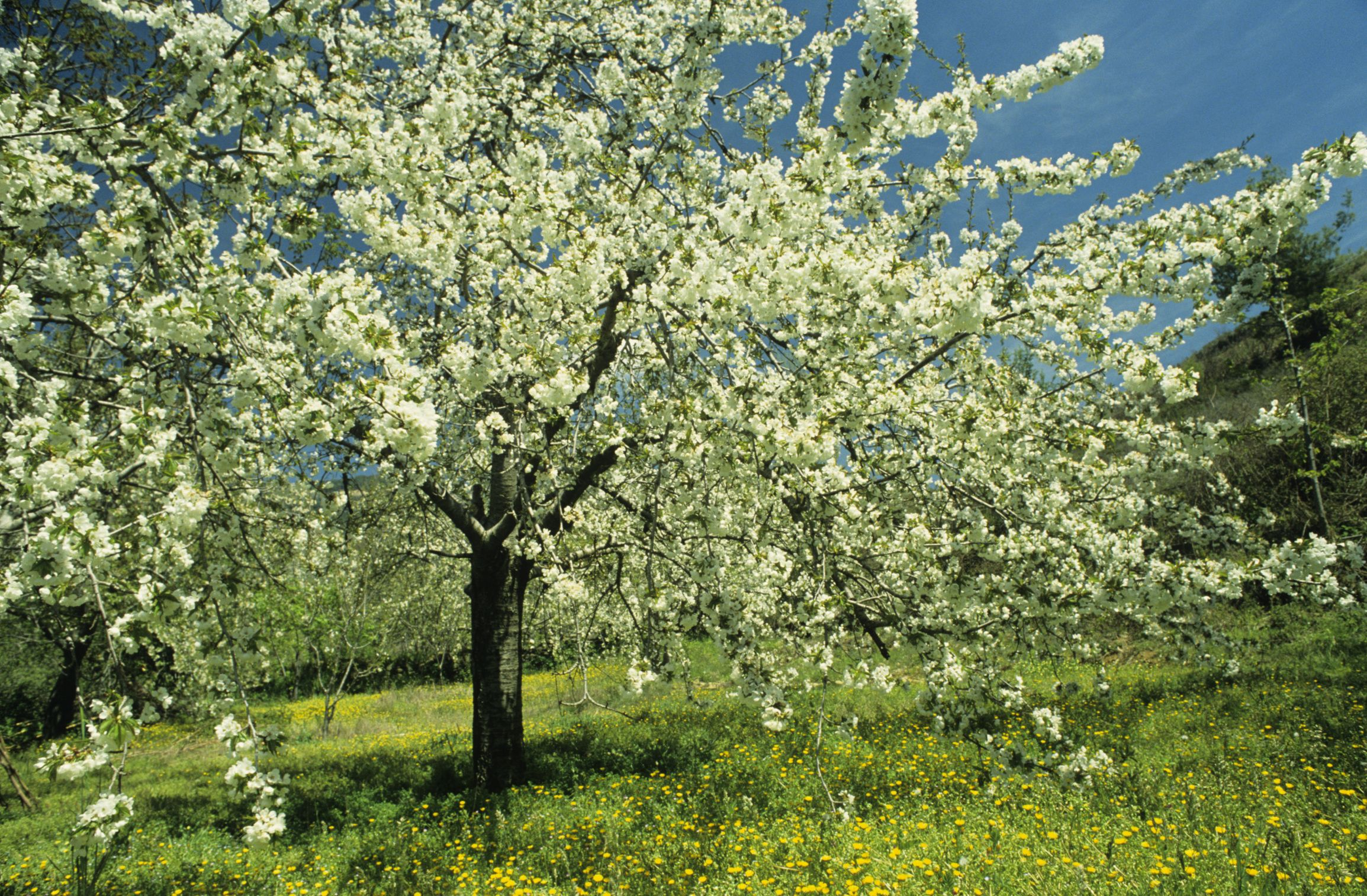 The Hardiness Zone For Cherry Fruit Trees Cherry Fruit Tree Avocado Tree Fruit Trees
