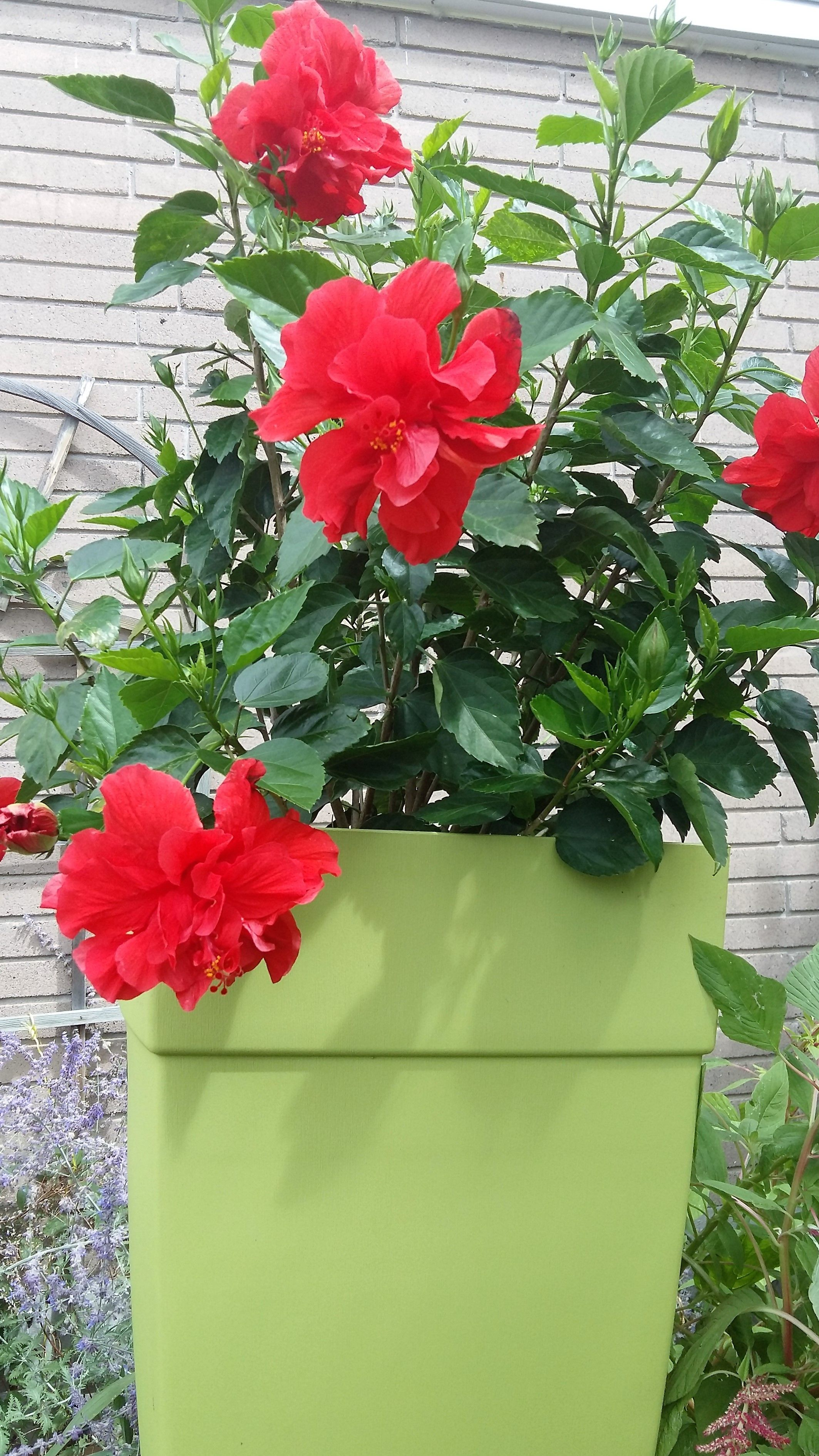 A red multi-petal summer Scarlett red hibiscus to die for   JUST ...