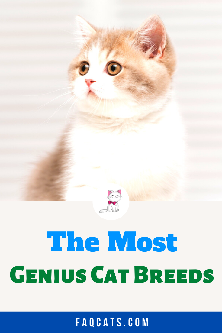 Intelligent Cat Breeds In 2020 Cat Breeds Cats Cute Cats And Kittens