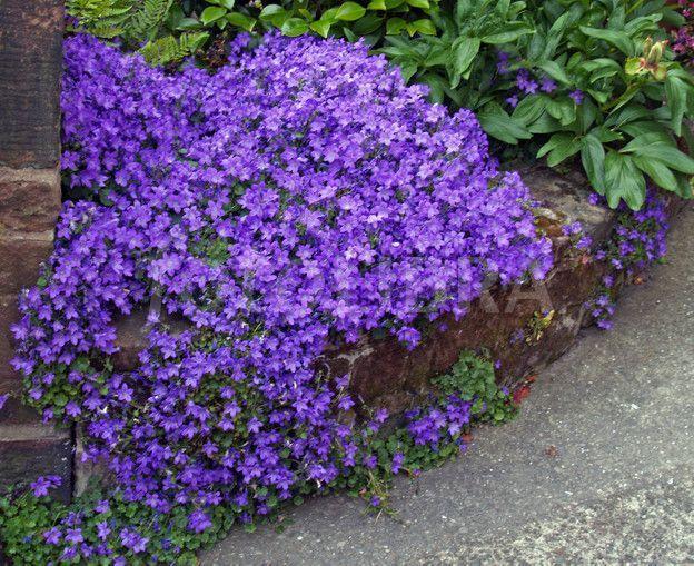 campanula | Campanula Growing up a Wall. | Ground Cover Plants | Pinterest