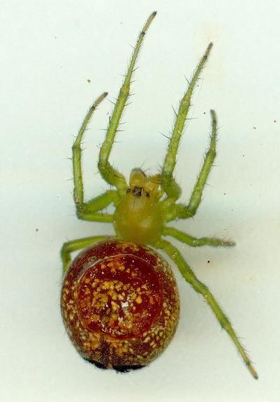 Araneus psittacinus