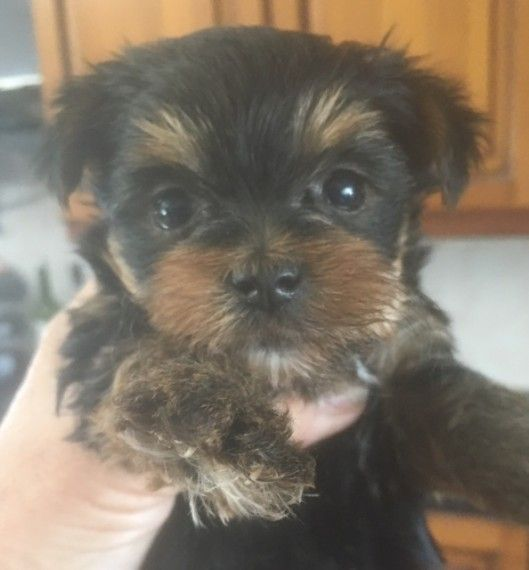 Yorkshire Terrier Energetic And Affectionate Yorkshire Terrier Puppies Yorkshire Terrier Miniature Yorkshire Terrier