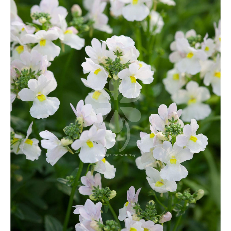 Nemesia Wisley Vanilla Plants Flowering Plants And Yellow Flowers