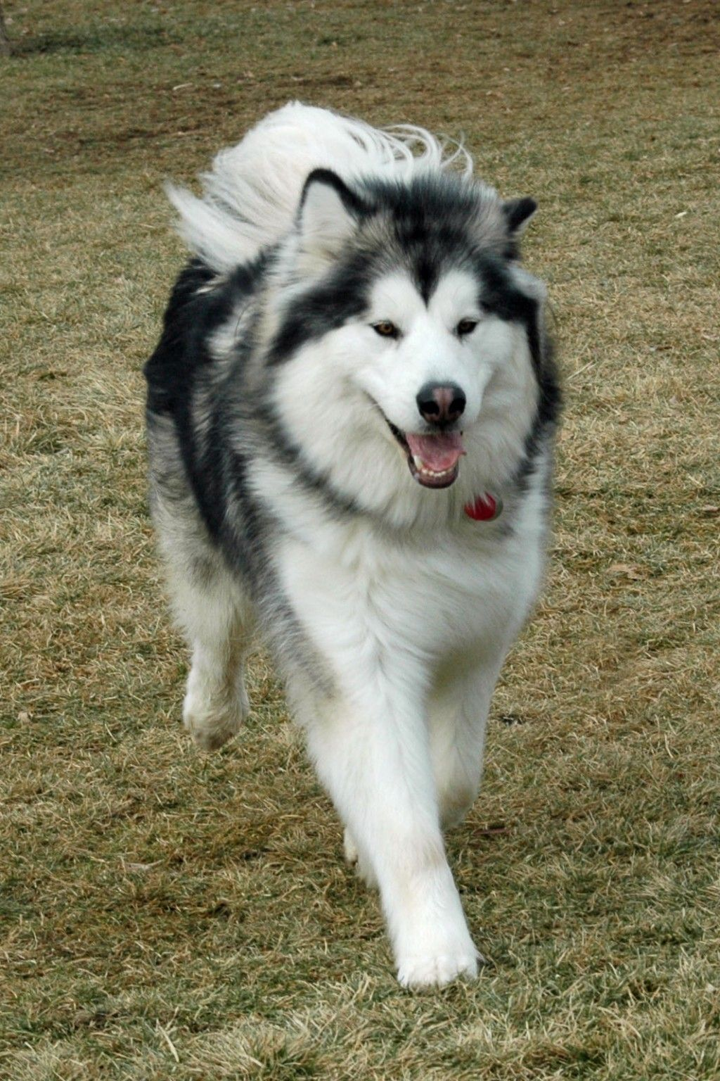 How To Groom An Alaskan Malamute Malamute Dog Giant Alaskan