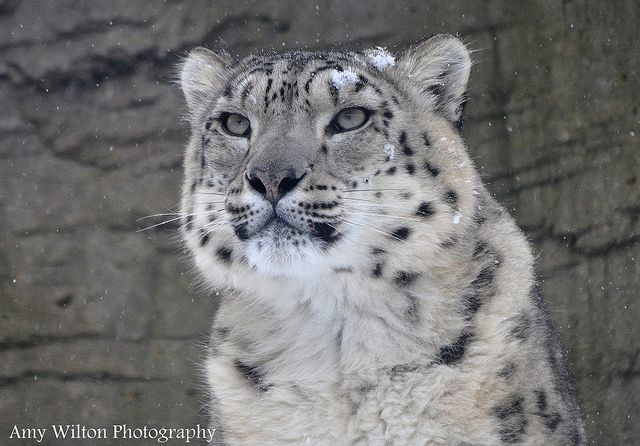 Snow Leopard Trust. Marwell 20.01.2013 by AmyWilton, via Flickr