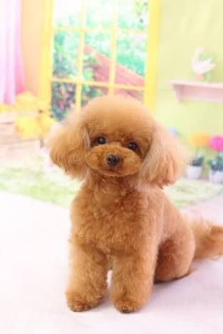 Pin By Ursula Hermanny Tomateo On ペットカット Poodle Puppy Cute Little Puppies Baby Dogs
