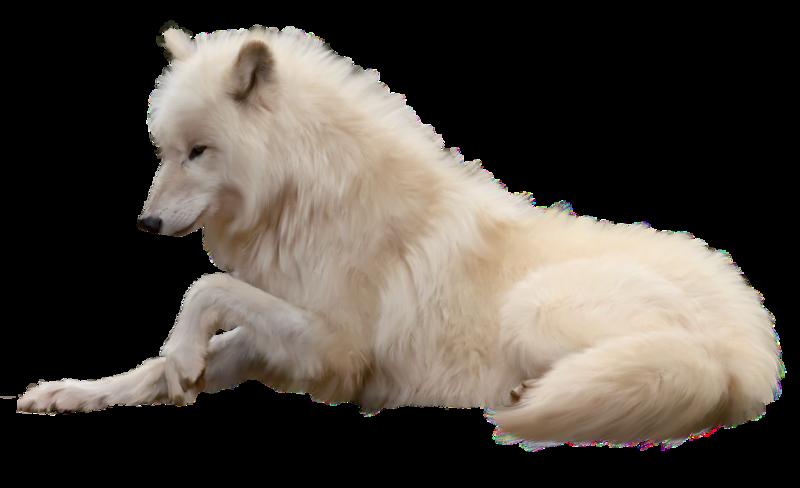 Pin By Sara On Png Animals White Wolf Polar Bear