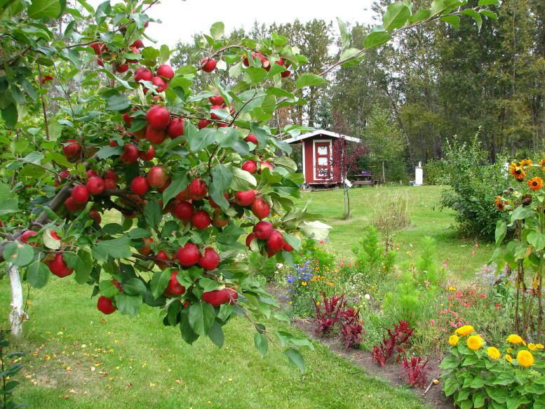 September Ruby Le Productive Fruit Tree For Very Cold Climates