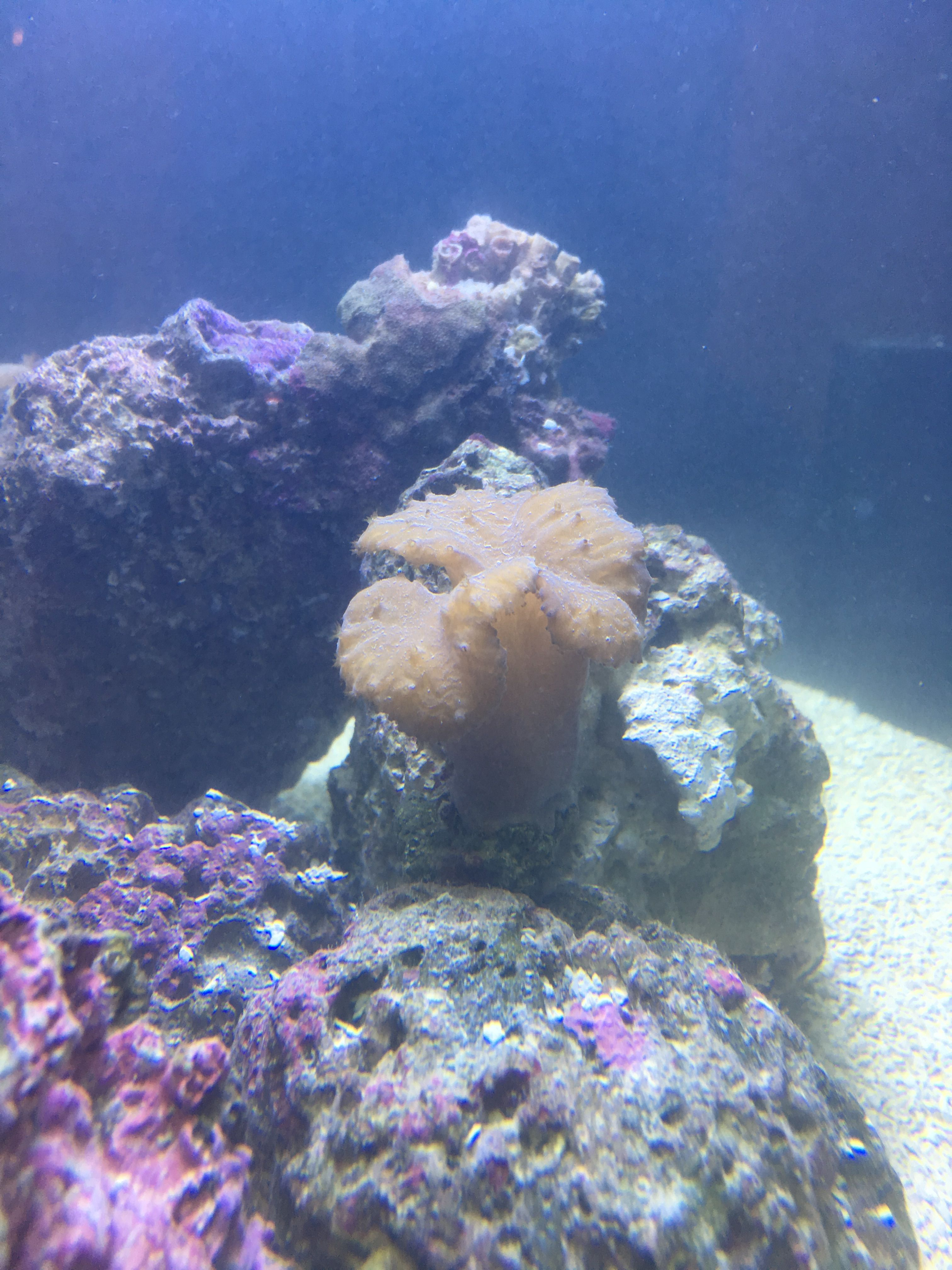 First Coral Frags Added To The Nano 1 22 17 Cabbage Leather Nano Reef Tank Reef Tank Coral Frags