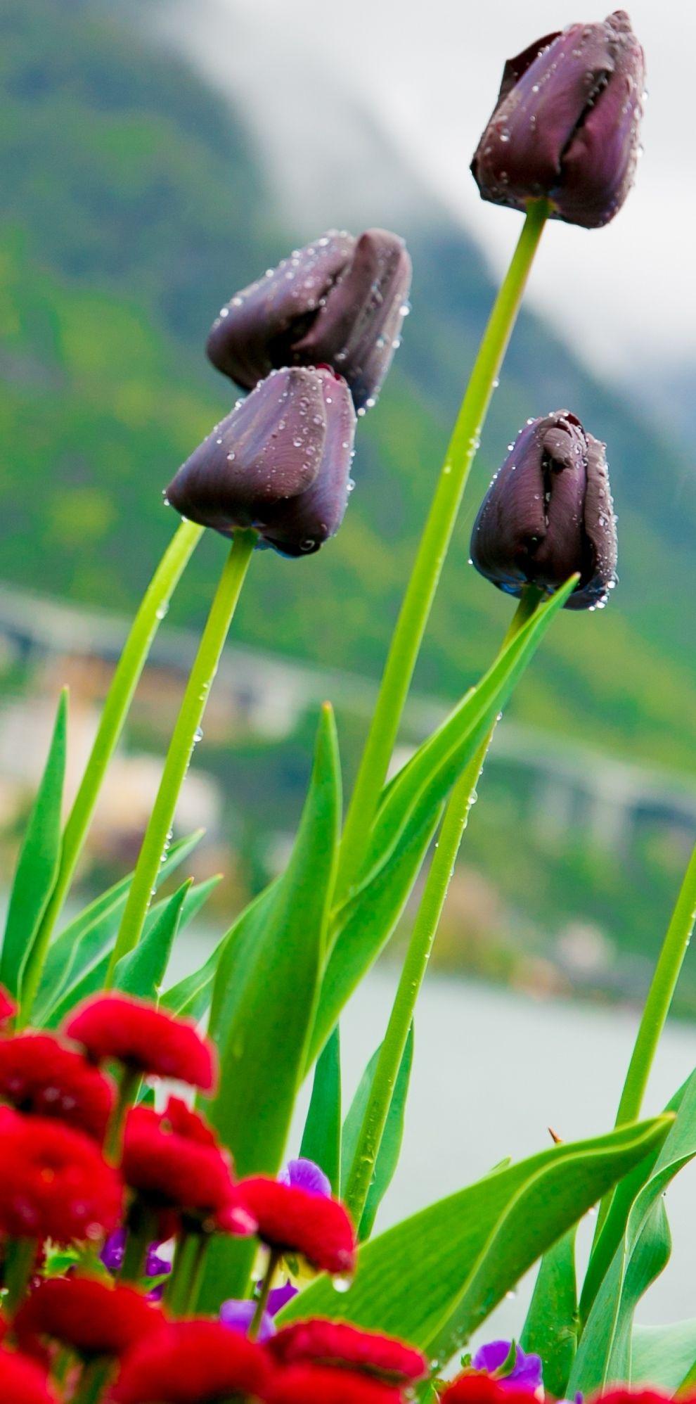 Black Tulips, Flowers on Lake Geneva, with Swiss Alps