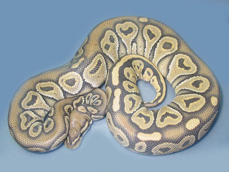 Het Red Axanthic Orange Ghost Morph List World Of Ball Pythons