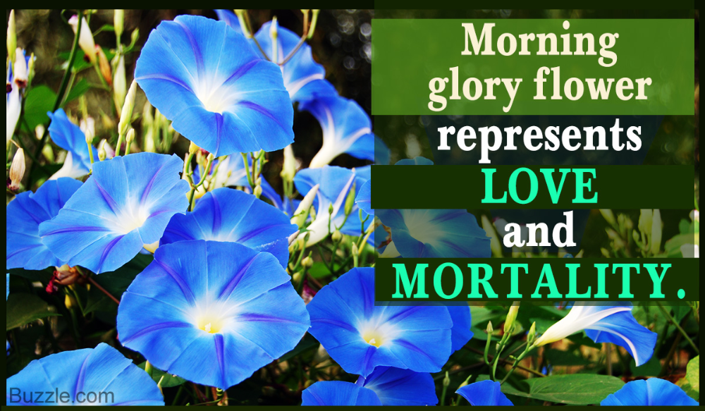 Morning Glory Flowers Are Pretty To Look At But They Bloom And Die Within One Day It Is Said That Morning Glory F In 2020 Morning Glory Flowers Morning Glory Flowers