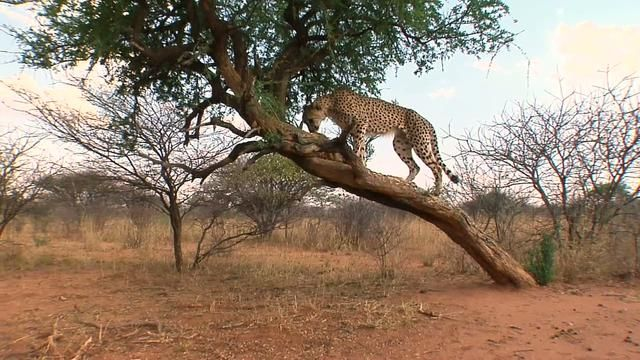 Cheetah Conservation Fund / Earthwatch Wildlife Conservation. Namibia, #Africa