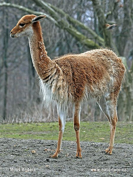 5 Amazing Animals That Start With The Letter V Vicuna Guanaco Alpacas