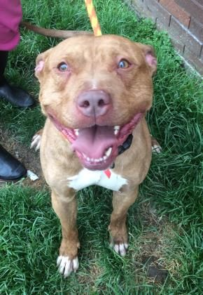 RETURNED TO OWNER  Petango.com – Meet Swag 98, a 2 years Terrier, Pit Bull / Mix available for adoption in CLEVELAND, OH