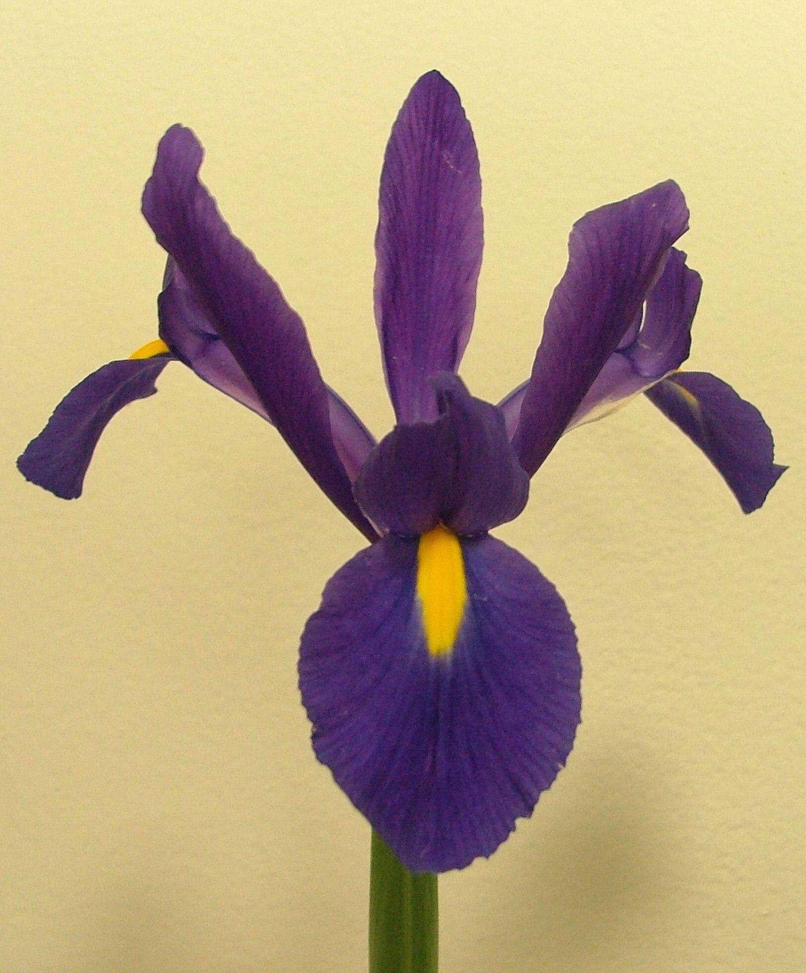 Dutch Iris Telstar Dutch Iris Iris Flower Bulb Index Dutch Iris Bulb Flowers Iris Flowers