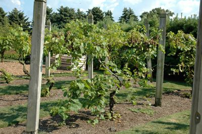 Tame Overgrown Grape Plants Down To A Manageable And More