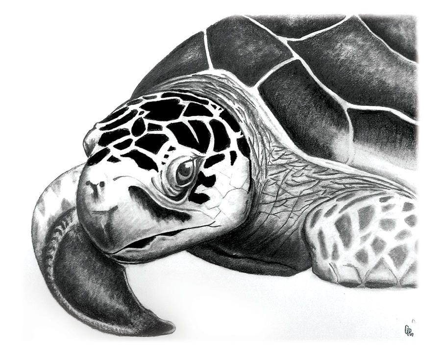 Sea Turtle by Greg DiNapoli Turtle sketch, Turtle art