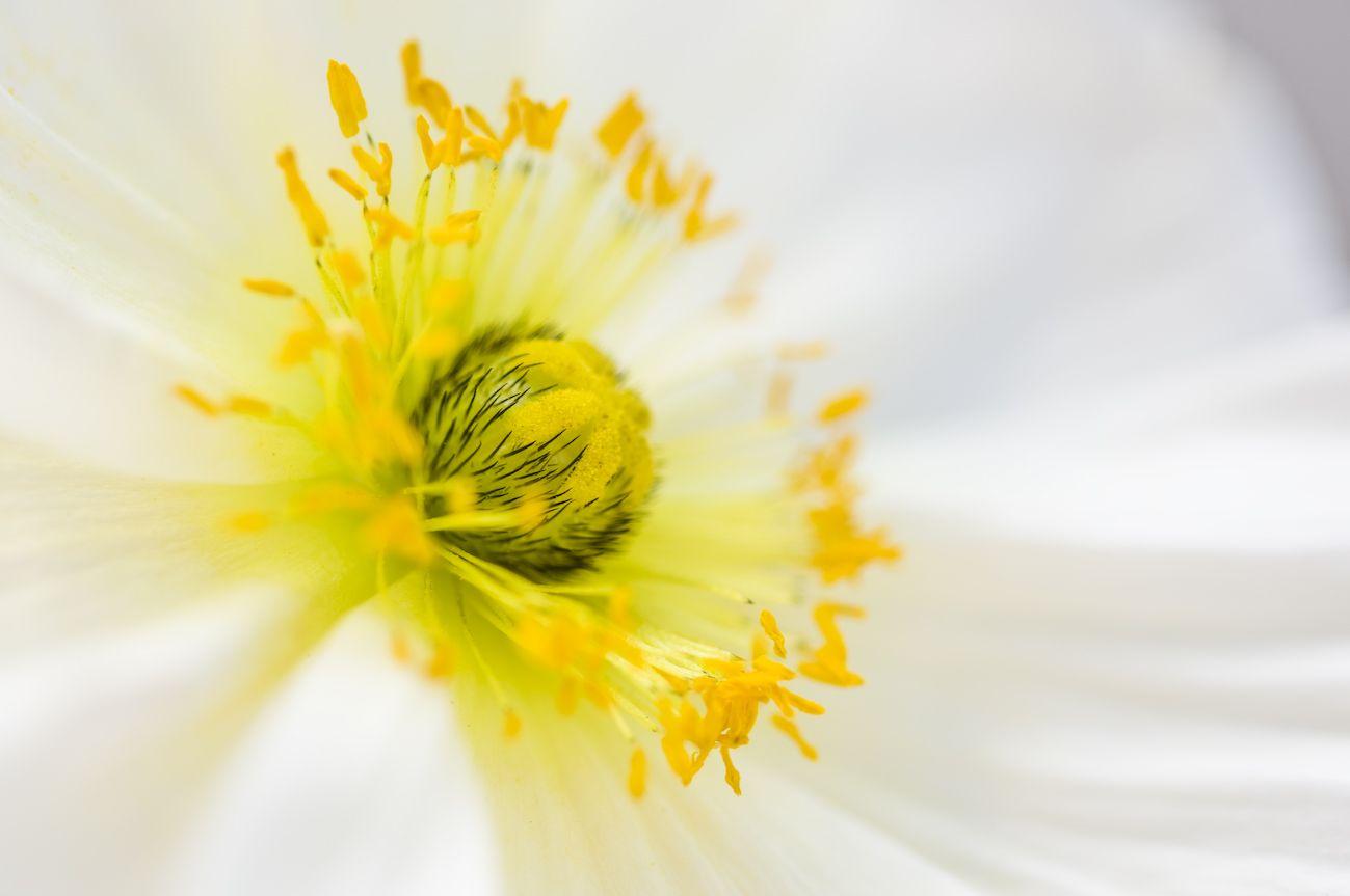 White Poppy Flower Photo By Geschmackverstaerker Garden Of