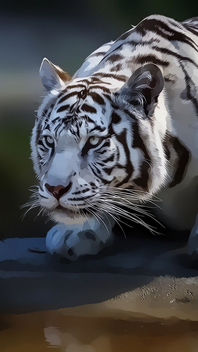 White Tiger Mobile Wallpaper Mobiles Wall White Tiger Tiger