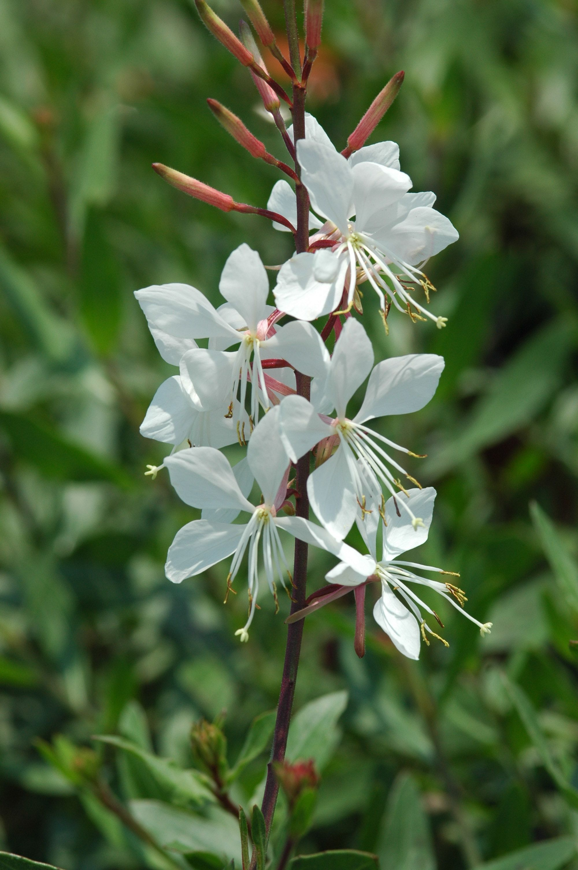 Gaura Is A Hardy Herbaceous Perennial That Is Almost Constantly In