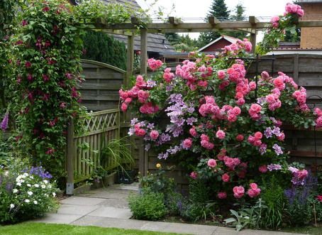 shrub and climber rosarium uetersen roses and more my. Black Bedroom Furniture Sets. Home Design Ideas