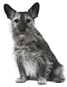 """scottish terrier jack russell mix"" - Google Search"