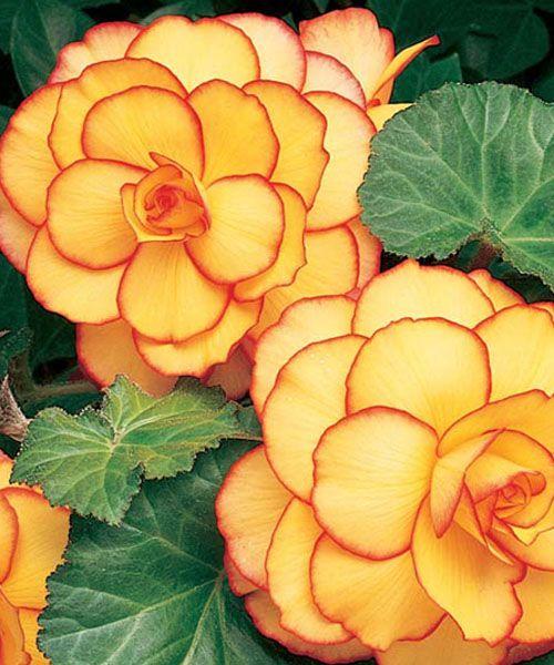 Begonia Picotee Sunburst #flowers
