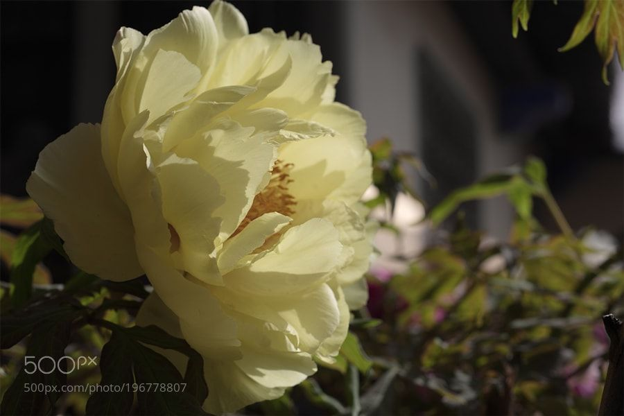 #nature peony by 258777299