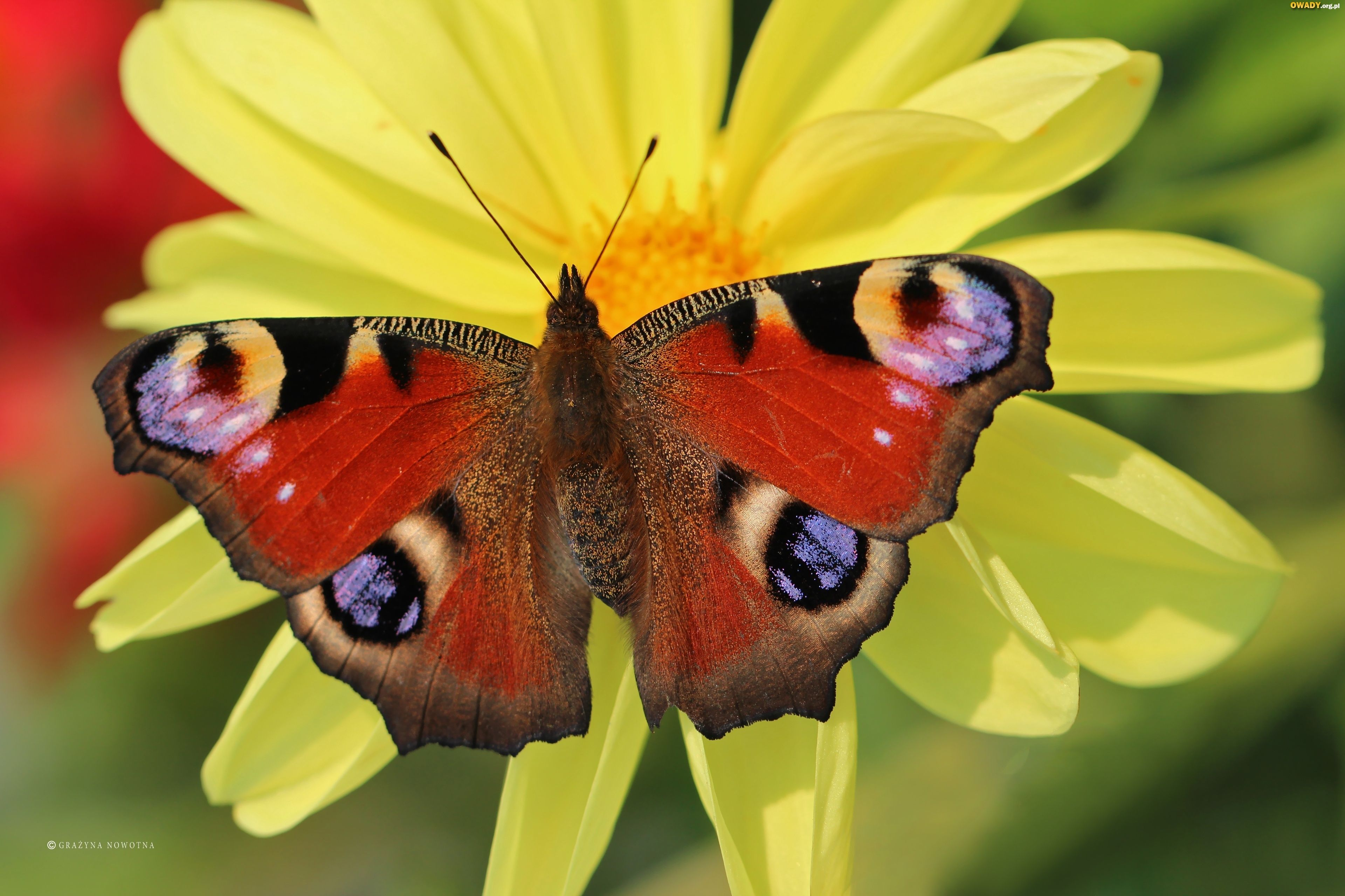 Motyl, Pawik Rusałka, Dalia, Kwiat