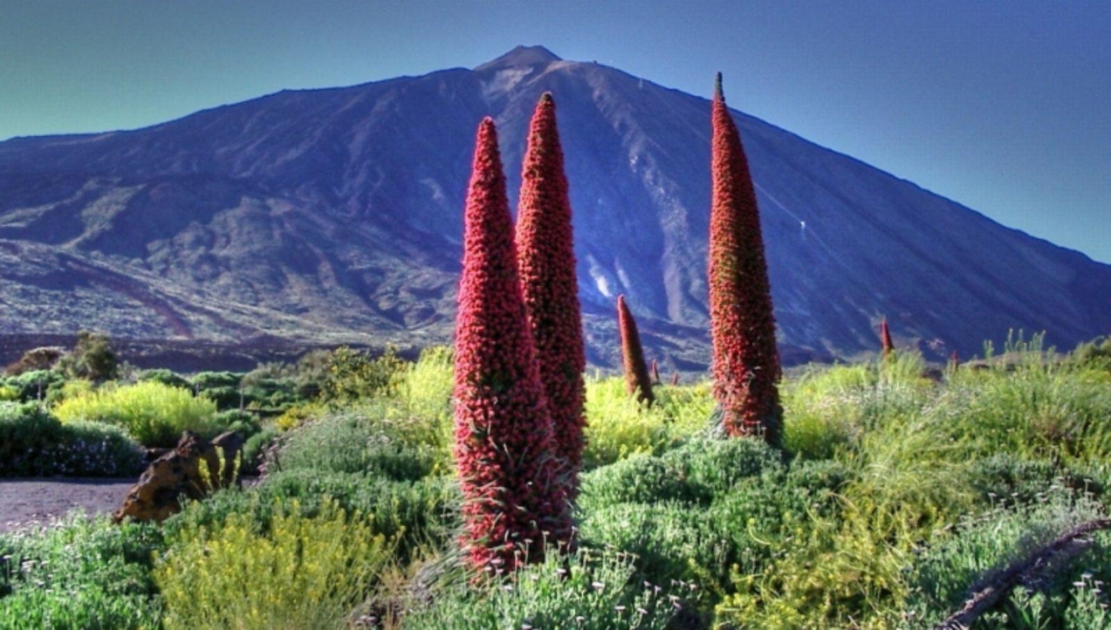 """Tajinaste rojo es una planta de endémica de Tenerife que puede llegar a alcanzar más de 2 metros de altura. >>>>>>>  The red """"Tajinaste"""" is an endemic plant of Tenerife that can reach 2 meters height."""
