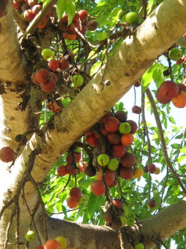 Fig Trees Fig Tree Fruit Trees Greek Garden Fruit