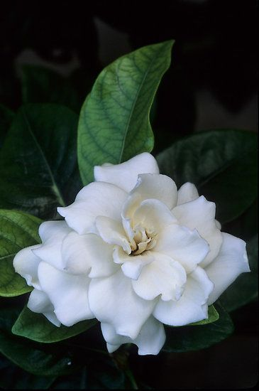 Love Gardenia Flower By Dency Kane Smelling Flowers Love Flowers Amazing Flowers