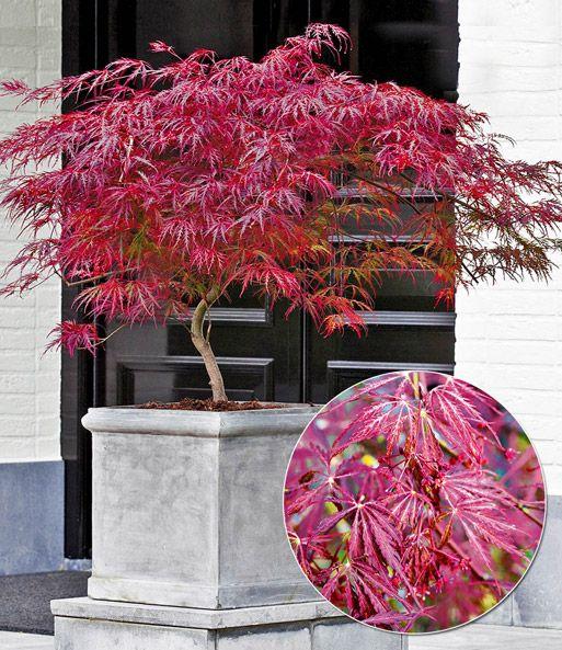japanischer ahorn 39 burgund 39 garten pinterest japanische g rten und gardening. Black Bedroom Furniture Sets. Home Design Ideas