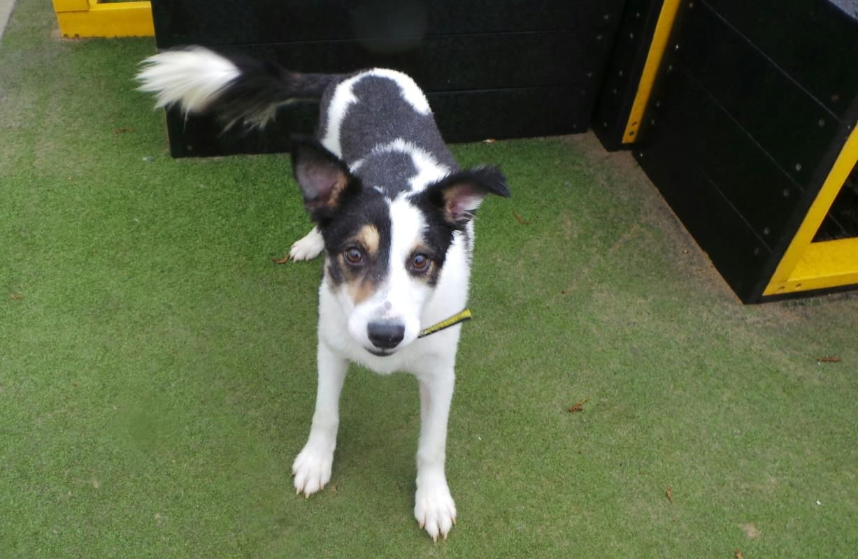 Monty Is A Shy But Sensitive 4 Year Old Sheltie Who Is Looking