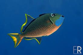 Item Sw1432502064 Blue Throat Trigger Male Indonesia Medium Ends Sun May 24 2015 04 14 24 Pm Cdt In 2020 Saltwater Aquarium Fish Marine Fish Colorful Fish