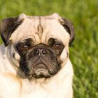 How to Minimize Shedding in Pugs