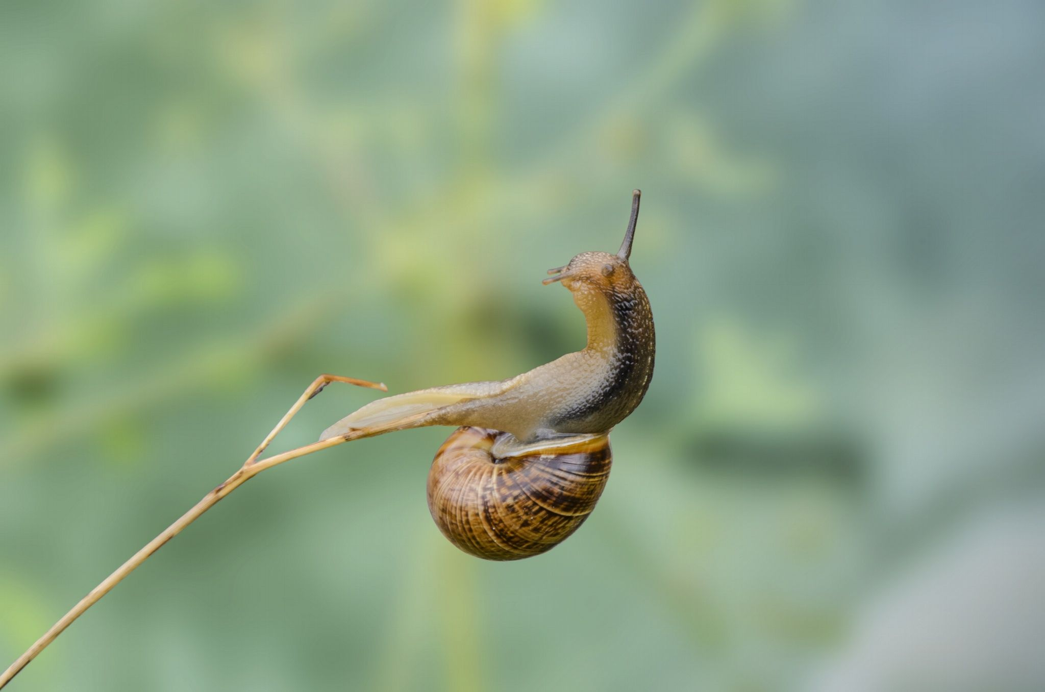Acrobatic Snail - A snail on a blade of grass in a funny position.