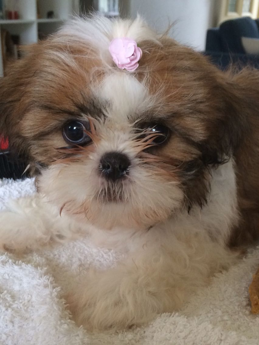 Baby Shih Tzu Maisie Shih Tzu Shih Tzu For Sale Cute Baby Animals