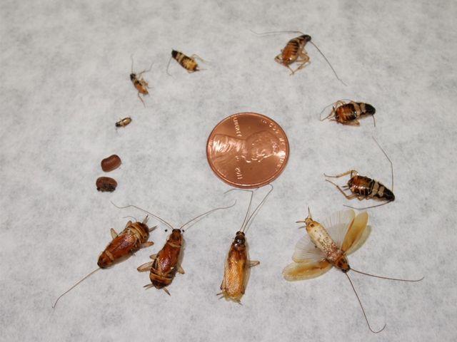What Do Bed Bugs Look Like  Orkincom