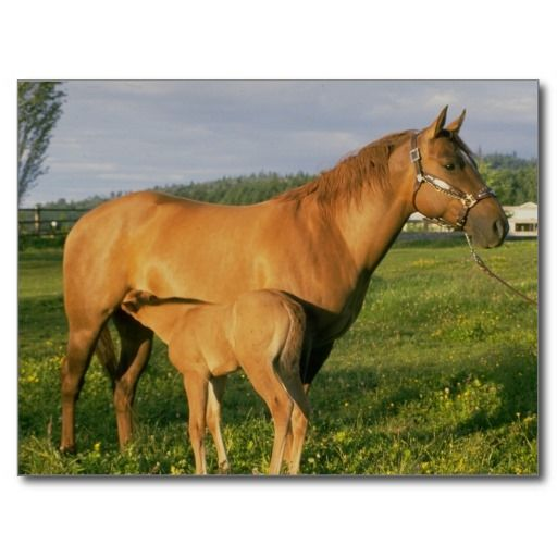 >>>Order          	Nursing Foal Postcards           	Nursing Foal Postcards we are given they also recommend where is the best to buyHow to          	Nursing Foal Postcards Online Secure Check out Quick and Easy...Cleck Hot Deals >>> http://www.zazzle.com/nursing_foal_postcards-239824110899696803?rf=238627982471231924&zbar=1&tc=terrest