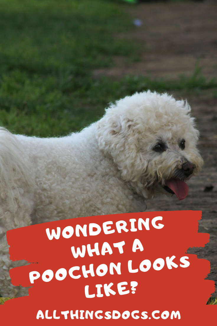 Wondering What A Poochon Looks Like Poochon Dog Poodle Mix Breeds Family Dogs Breeds